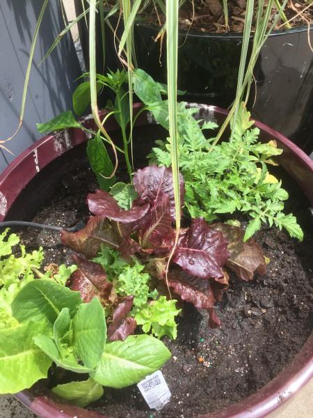 Mein Salat auf dem Dach.